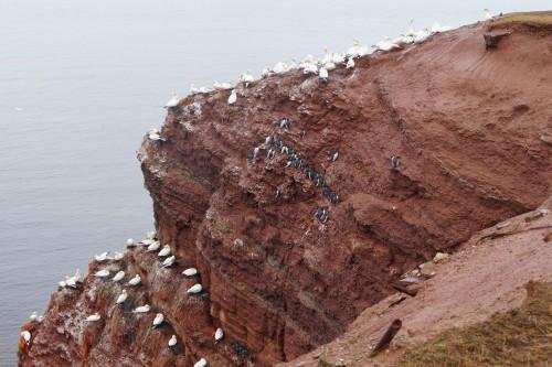 Die weißen Basstölpel und die schwarzen, pinguinähnlichen Trottellummen am Vogelfelsen